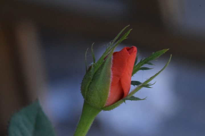 Un roseto